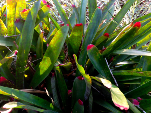 Bromeliads with pink tipped leaves