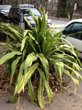crinums in container, streets of Savannah