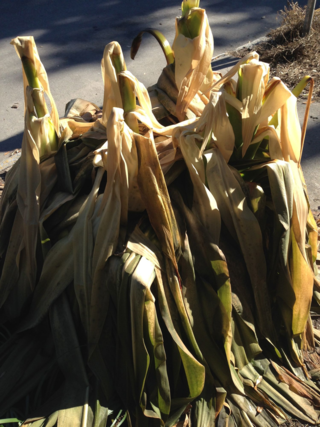 frost damaged crinums