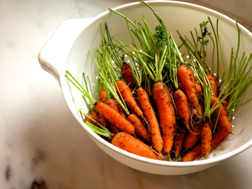 Homegrown carrots in colander
