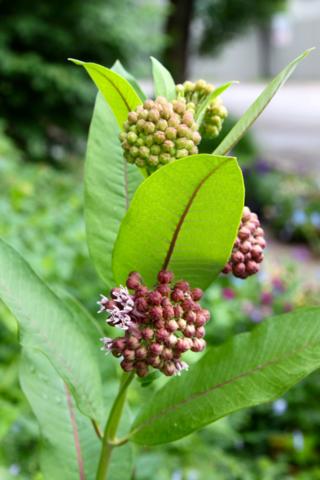 Milkweed for monarch butterflies
