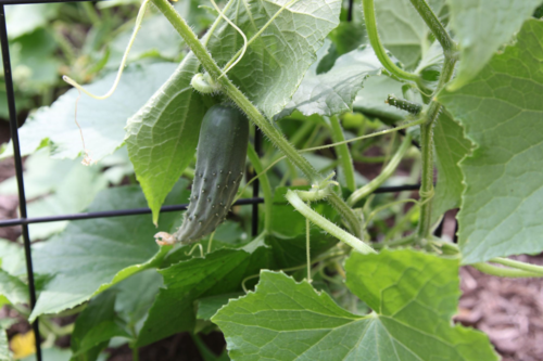 cucumbers ripening on the vine