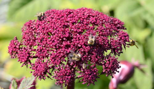 Bees on umbel of Angelica gigs