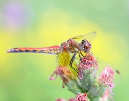 dragonfly perching on purple liatris