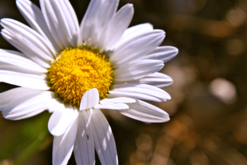 Winter sowing Shasta daisies