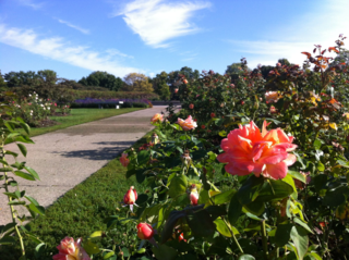 Sunset color roses bloom at Lyndale Rose Garden