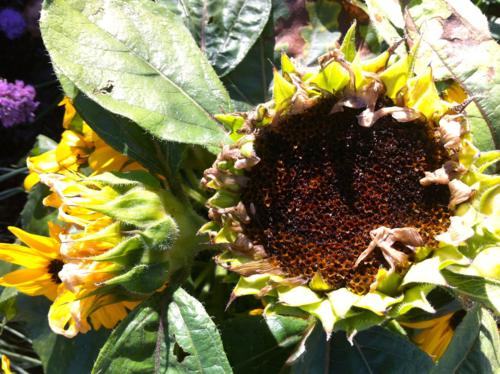 Sunflowers setting seed