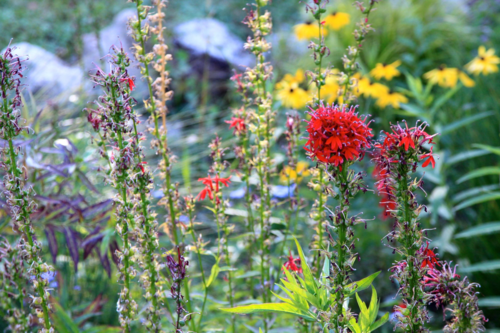 Plants for rain gardens in Midwest