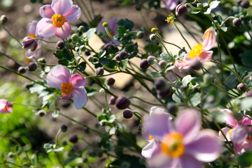 pink anemones naturalize