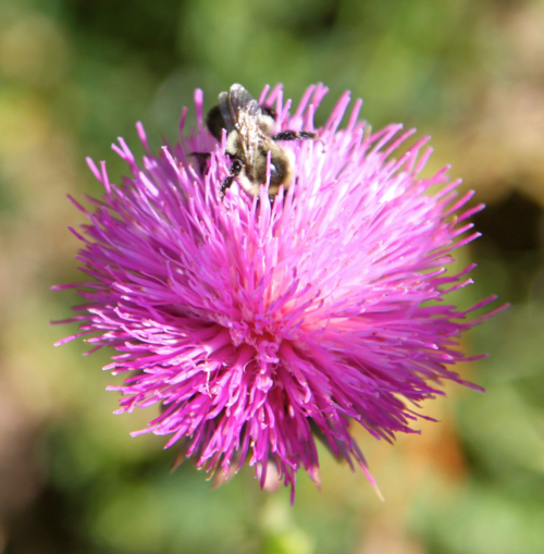 thistles attract bees
