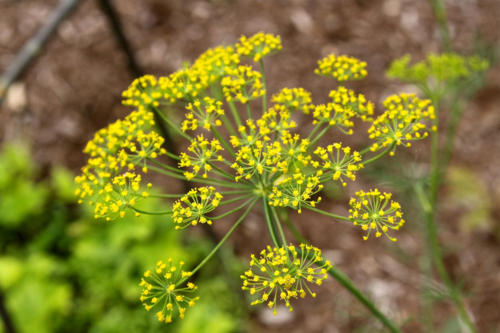 dill flowering