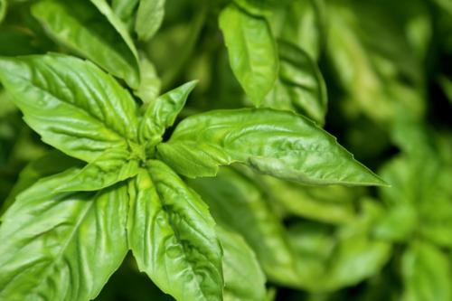 Lettuce leaf basil for pesto