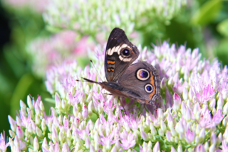 Buckeye Butterflies attracted to sedum
