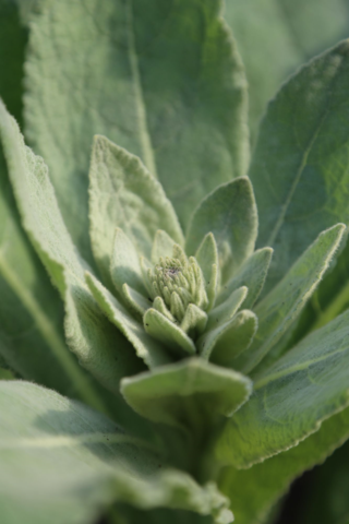 Fuzzy leaves on mullein weed