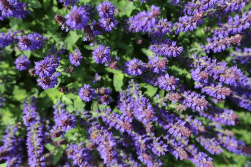 salvia purple sensation with bee