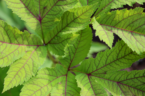Serrated leaves of Angelica gigas