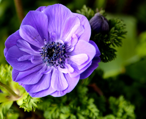 Blue anemone grown from bulb