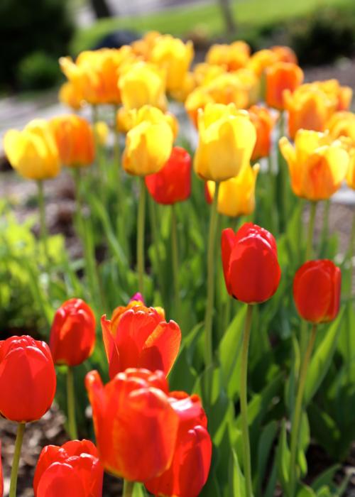 Appeldorn tulips from Longfield Gardens