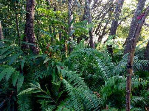 Undergrowth of ferns in rain forest