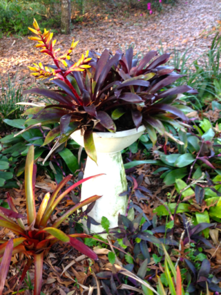 Purple leaved bromeliad with yellow bloom