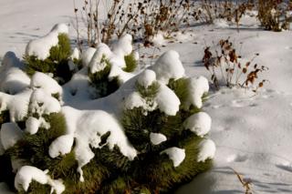 Snow on birds nest conifer