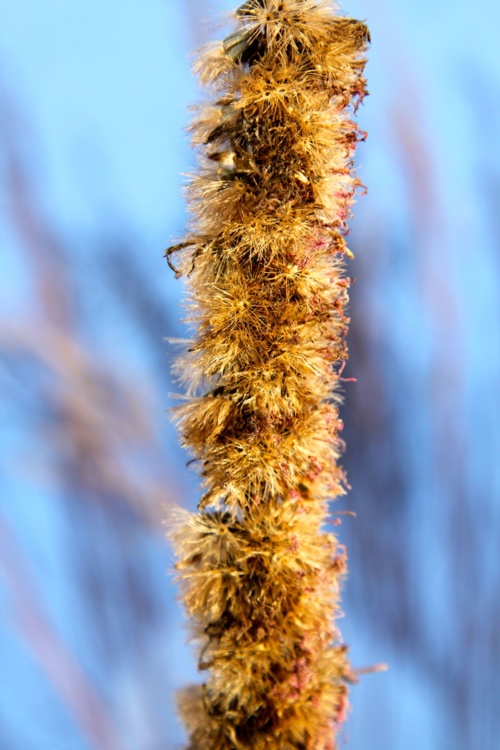 Seeds forming on liatris bloom