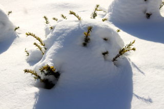 Small yew peeking from snow