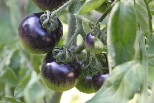 Grafted Tomato  Might 'Mato Indigo Rose
