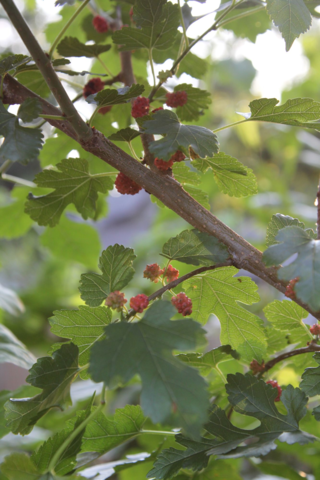 forage for mulberries