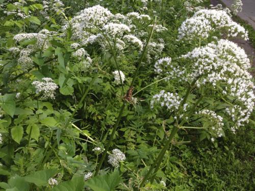 white wildflowers