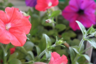 Shock Wave and Easy Wave Medleys petunias