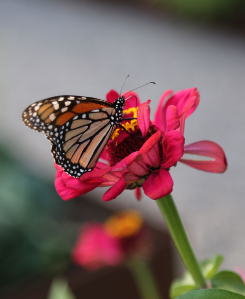 orange Monarch butterfly on pink zinnia