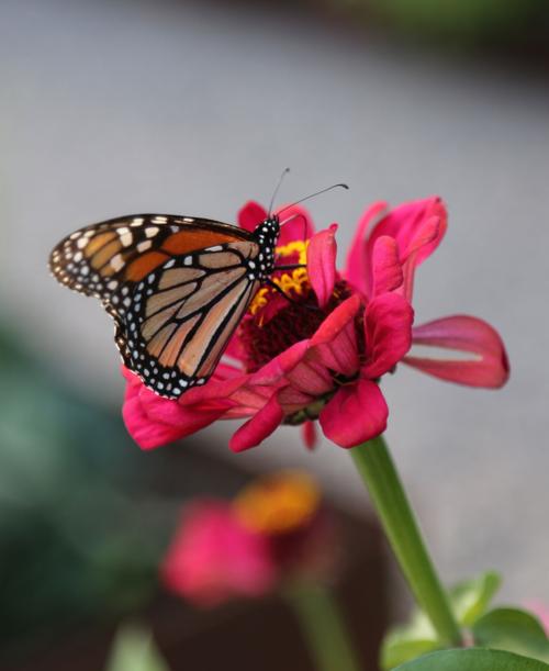orange Monarch butterfly on pink zinnia