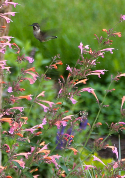 'Summer Breeze' Agastache attracts hummingbirds