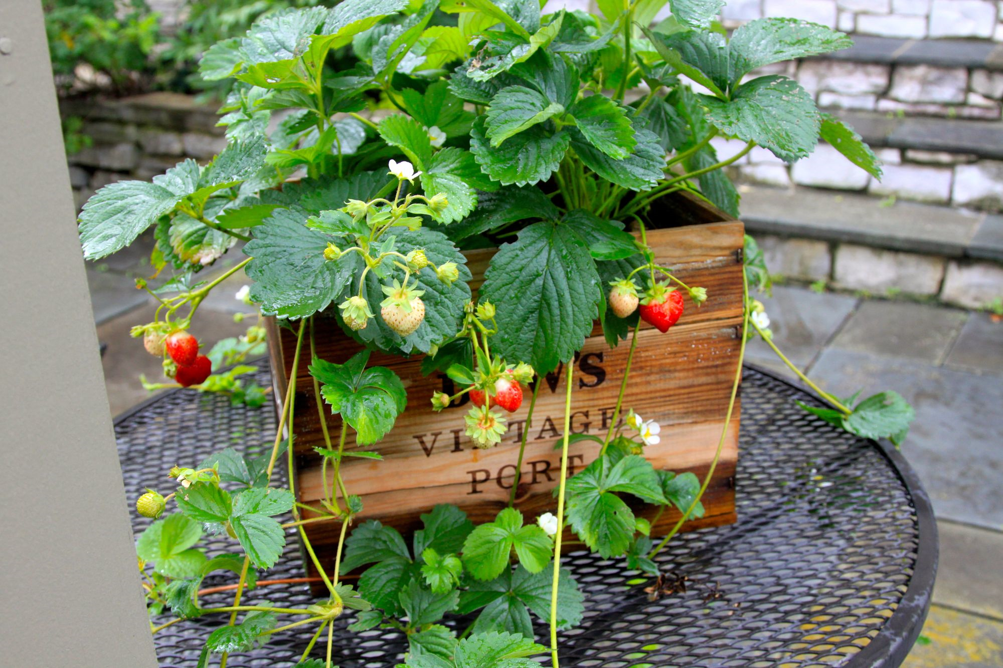 Growing Strawberries In Pots Part - 15:  Growing Strawberries In Pots Amazing Pictures