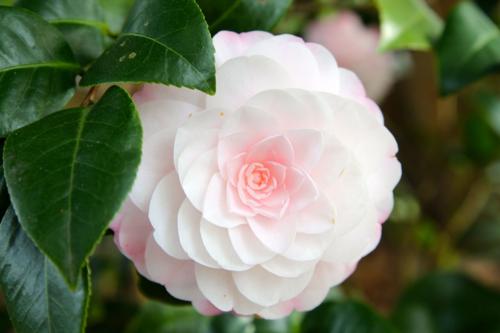 soft pink camellia