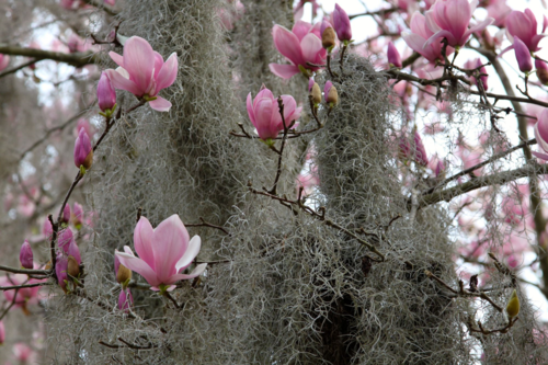 Tulip magnolia blooms with spanish moss