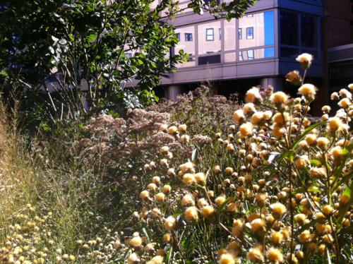 Wildlife habitat among the high rises on High Line
