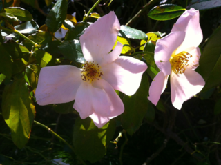 Shrub roses blooming on High Line
