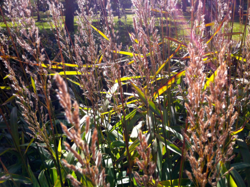 Grasses blooming, rosy seed heads