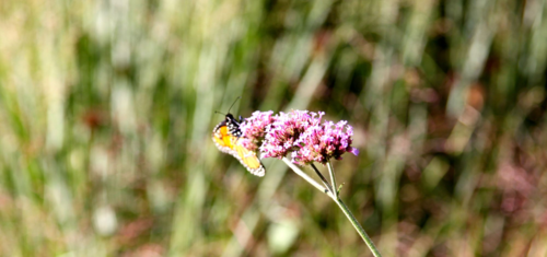 Verbena bonariensis is a Monarch favorite