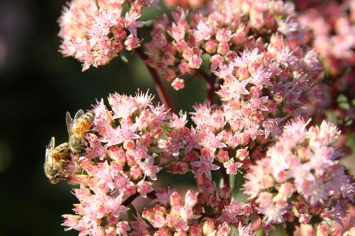 Honeybees on sedum 'Autumn Joy'