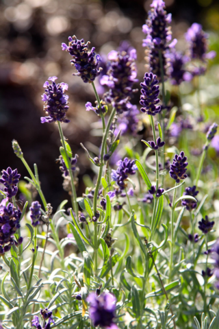 'Oxford Gem' lavender flower pikes