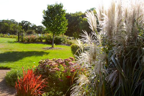 SIlvery miscanthus grass