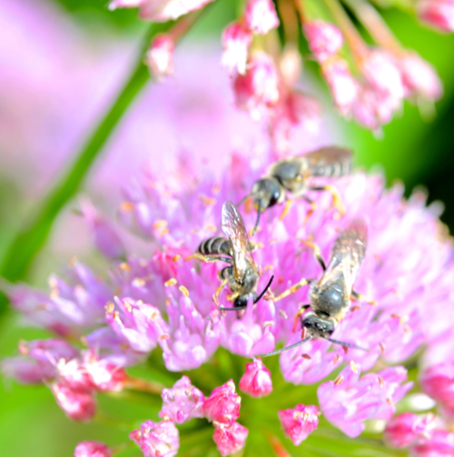 Allium tanguticum attracts bees