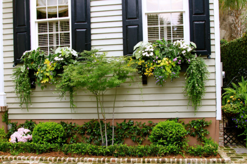 Japanese maple and window boxes