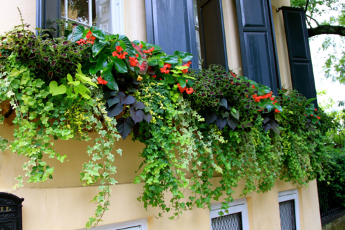 Ivy, dragonwing begonia, coleus in Charleston window box
