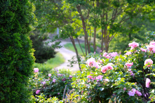 pink roses at Moss Mountain Farm