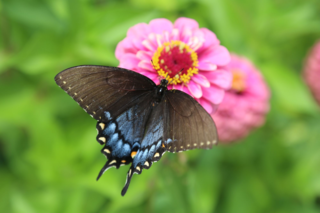 Swallowtail butterfly on Berry Basket Zinnia