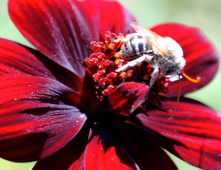 Chocolate Cosmos, bee pollinating